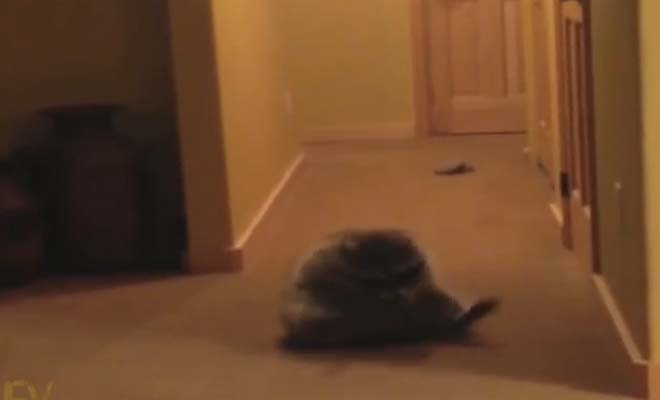 This is what happens when you have a raccoon for a pet. This will make you literally laugh out loud.