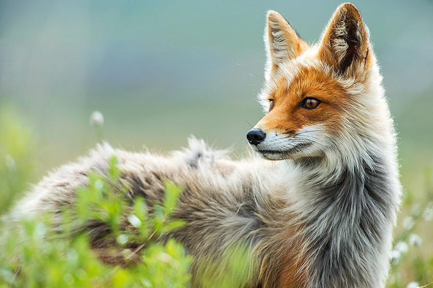 This Russian Miner Takes Adorable Photos of Foxes During His Breaks. You Have To See #14.