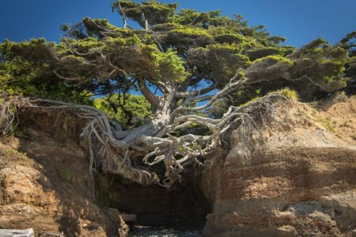These Ancient Trees Are Determined to Live Forever